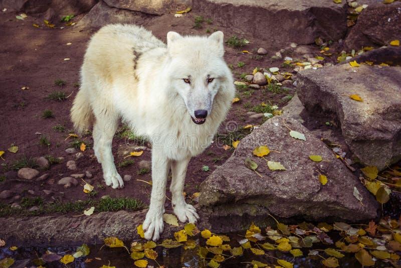 Arktische weiße Wolf Canis-Lupus arctos, welche die Kamera an einem Falltag betrachten lizenzfreie stockbilder