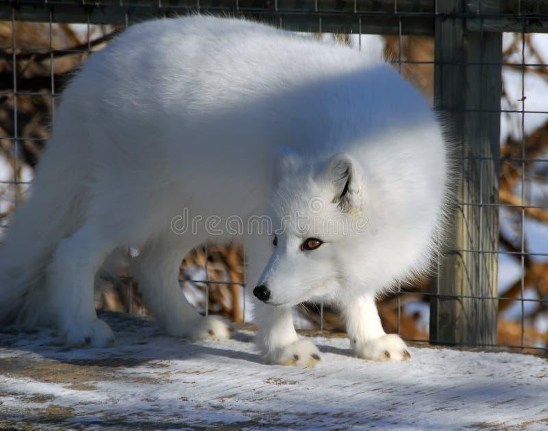 Arktischer Fox lizenzfreies stockfoto