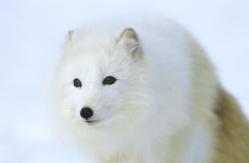 Arktischer Fox in der Schneenahaufnahme lizenzfreies stockbild