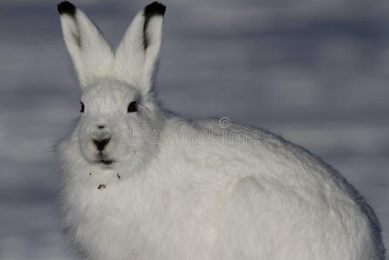 Arktischer Hase mit Blick des Schreckens mit Weide bessert in seinem Pelz aus lizenzfreies stockfoto