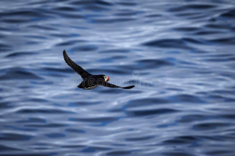 Arktischer Papageientaucher im Flug lizenzfreies stockbild