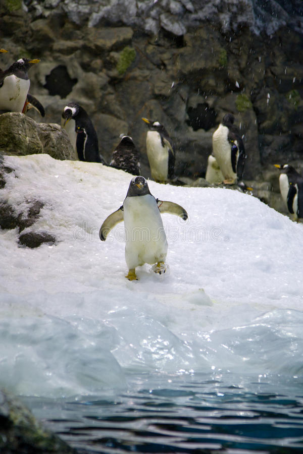 Arktischer Pinguin lizenzfreies stockbild