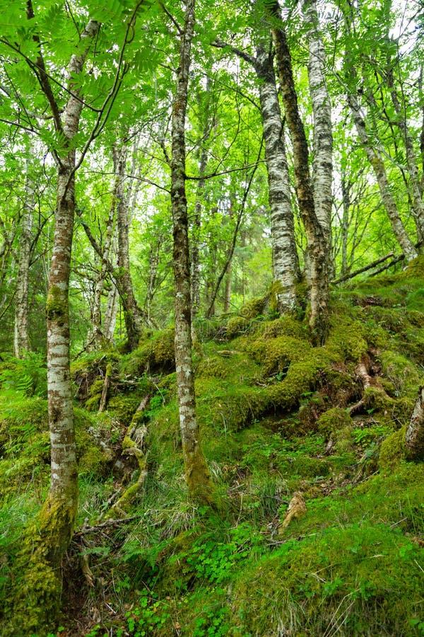 Arktischer Wald, Norwegen Knotige zwergartige Birken stockbilder