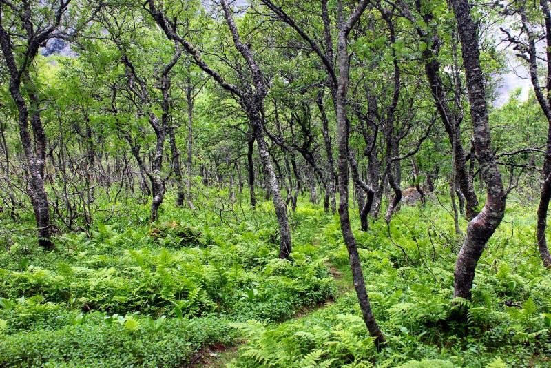 Arktischer Wald von knotigen zwergartigen Birken und von Farn, Norwegen lizenzfreies stockfoto