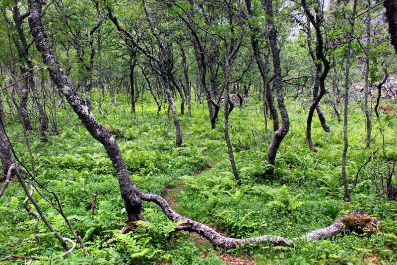 Arktischer Wald von knotigen zwergartigen Birken und von Farn, Süd-Norwegen stockfotografie
