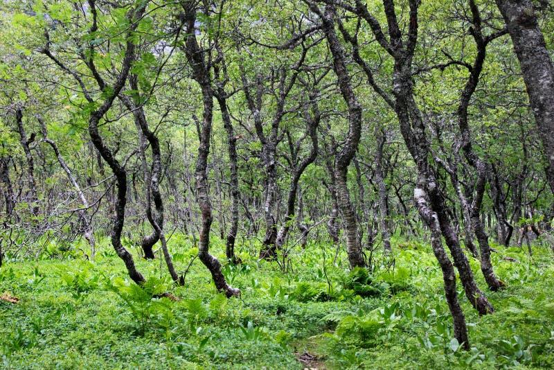 Arktischer Wald von knotigen zwergartigen Birken und von Farn, Süd-Norwegen stockbild