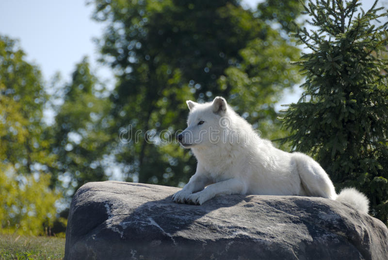 Arktischer Wolf stockfotografie