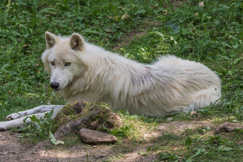 Arktischer Wolf, der auf dem Waldboden stillsteht lizenzfreie stockfotografie