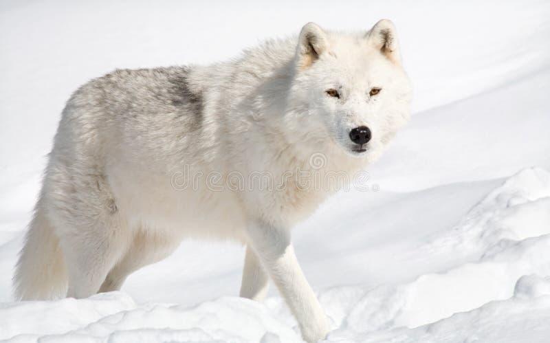 Arktischer Wolf im Schnee, der die Kamera betrachtet lizenzfreie stockfotos