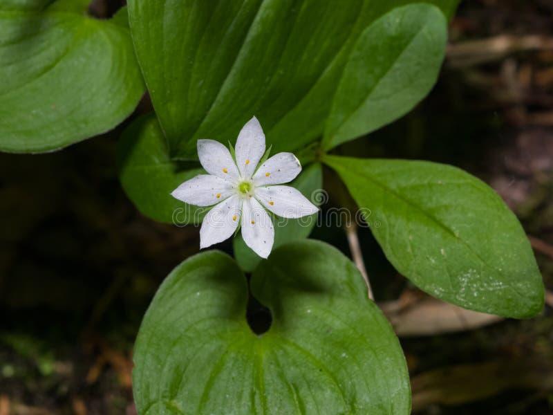 Arktisches europaea Starflower, des Sandkrauts-wintergreen oder Trientalis Blumennahaufnahme am Wald, selektiver Fokus, flacher D stockbild