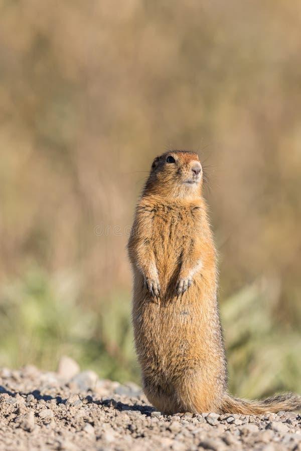 Arktisches Grundeichhörnchen lizenzfreie stockfotos