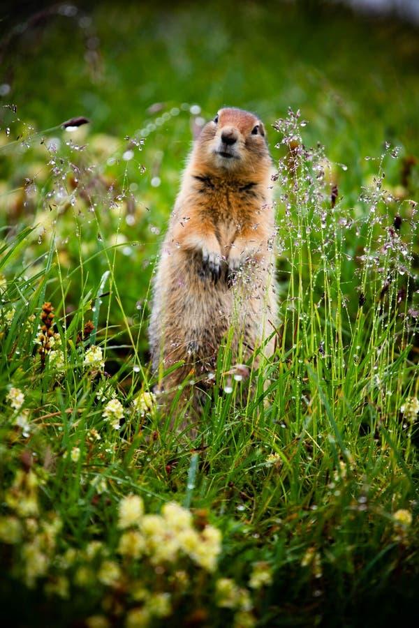 Arktisches Grundeichhörnchen lizenzfreie stockbilder