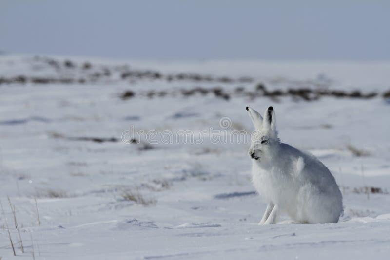 Arktisches Sitzen arktischen Hasen Lepus auf Schnee und Verschütten seines Wintermantels, Nunavut lizenzfreie stockfotografie