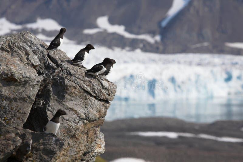 arktisk auksfågelglaciär little över royaltyfri bild