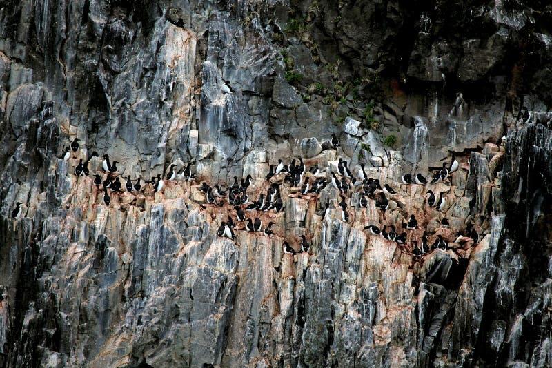 Arktisk fågelkoloni på höga klippor i Svalbard royaltyfri foto