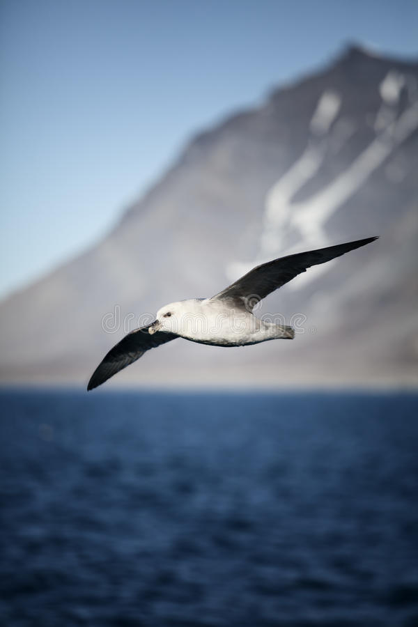 arktisk fulmar arkivfoton