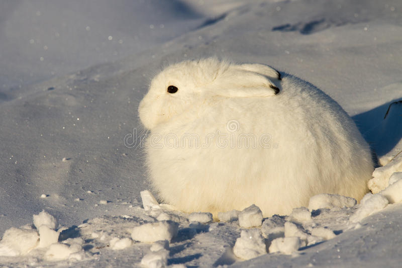 Arktisk hare royaltyfri fotografi