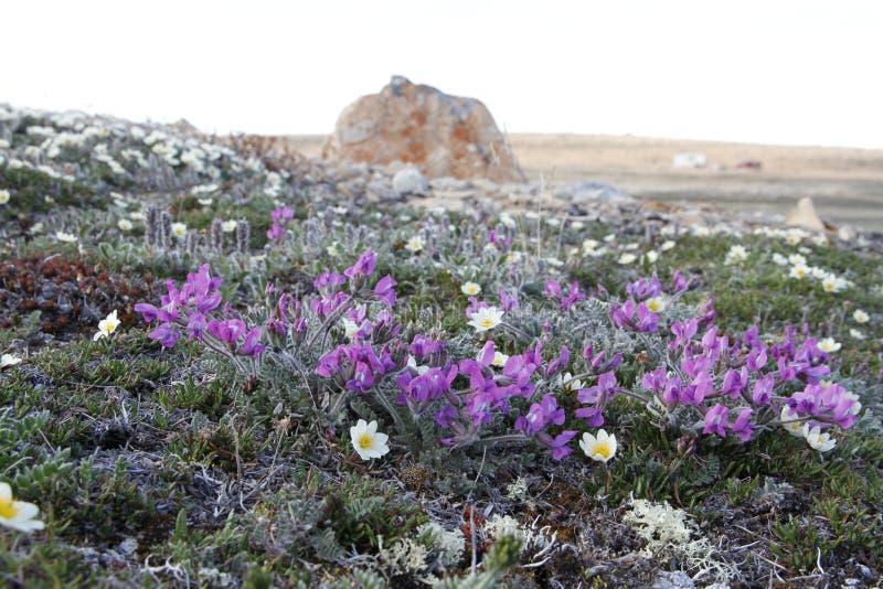 Arktisk oavkortad blom för arktisk Oxytrope Oxytropis royaltyfria foton