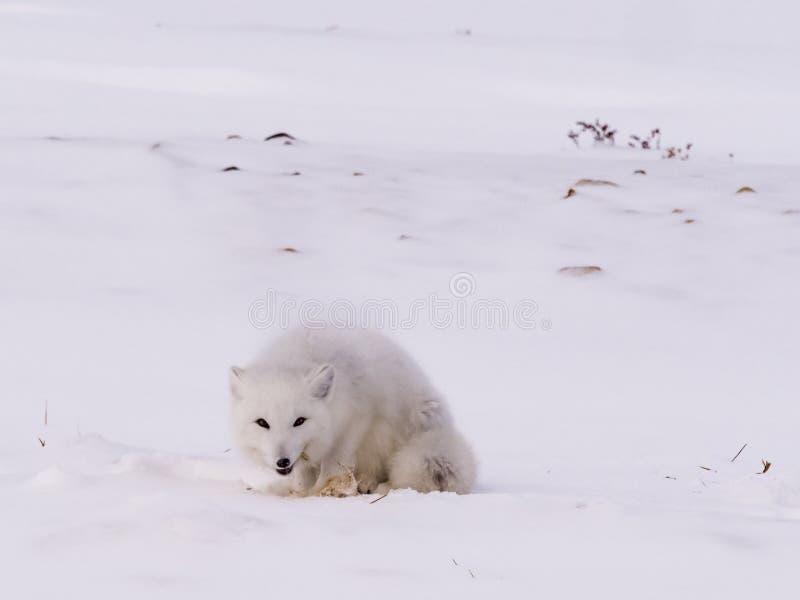 Arktisk polar räv royaltyfri bild