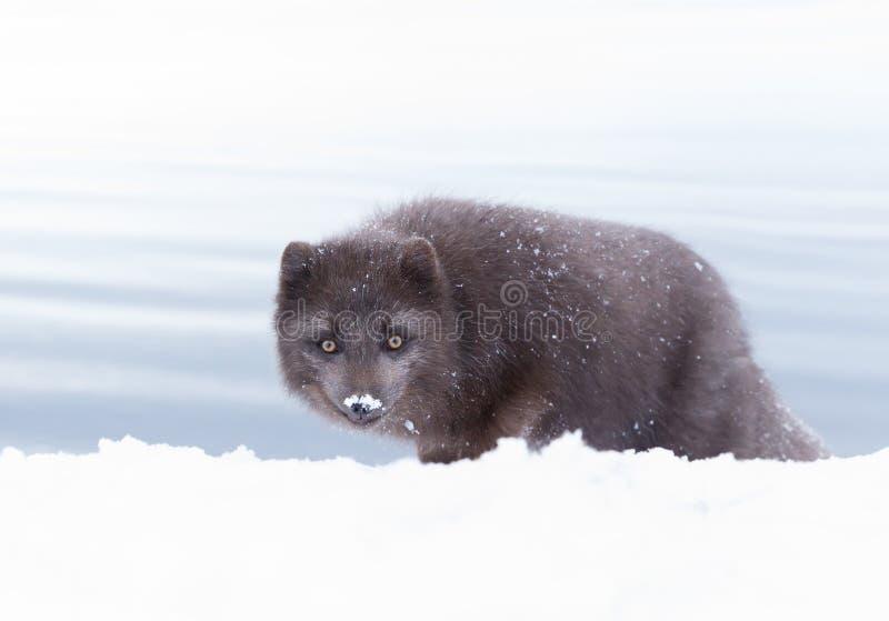 Arktisk räv för blå morf i snö arkivbilder