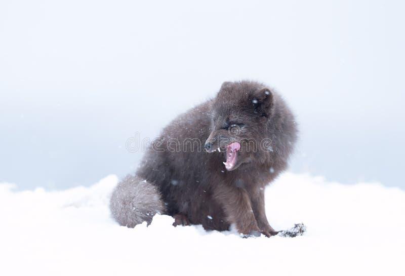 Arktisk räv för blå morf i snö arkivfoton