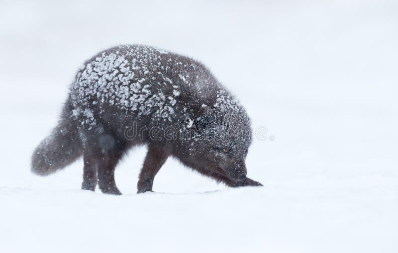 Arktisk räv för blå morf i snö royaltyfria foton