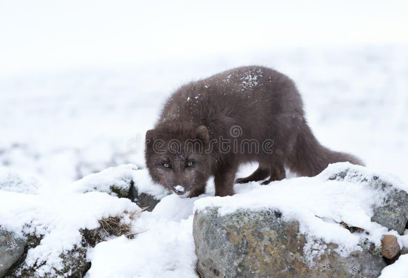 Arktisk räv för blå morf i vinter arkivbilder