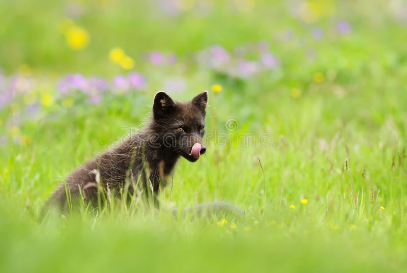 Arktisk räv för vuxen blå morf som ut klibbar en tunga arkivfoto