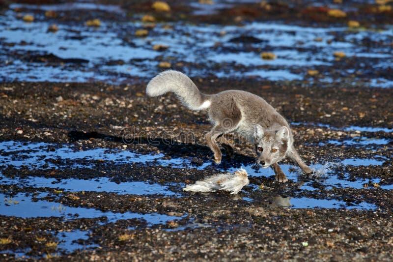 Arktisk räv i arktisk sommar arkivfoton