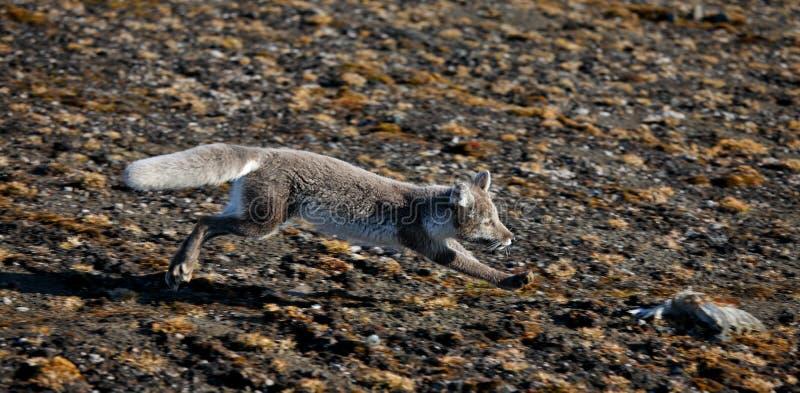 Arktisk räv i arktisk sommar royaltyfri fotografi