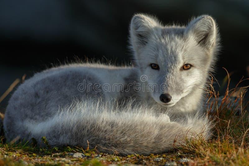 Arktisk räv i ett höstlandskap fotografering för bildbyråer