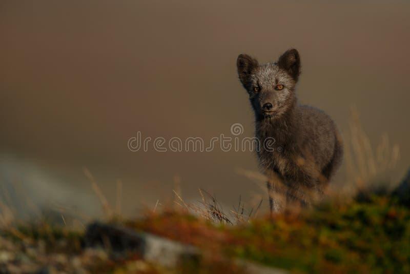 Arktisk räv i ett höstlandskap arkivbild