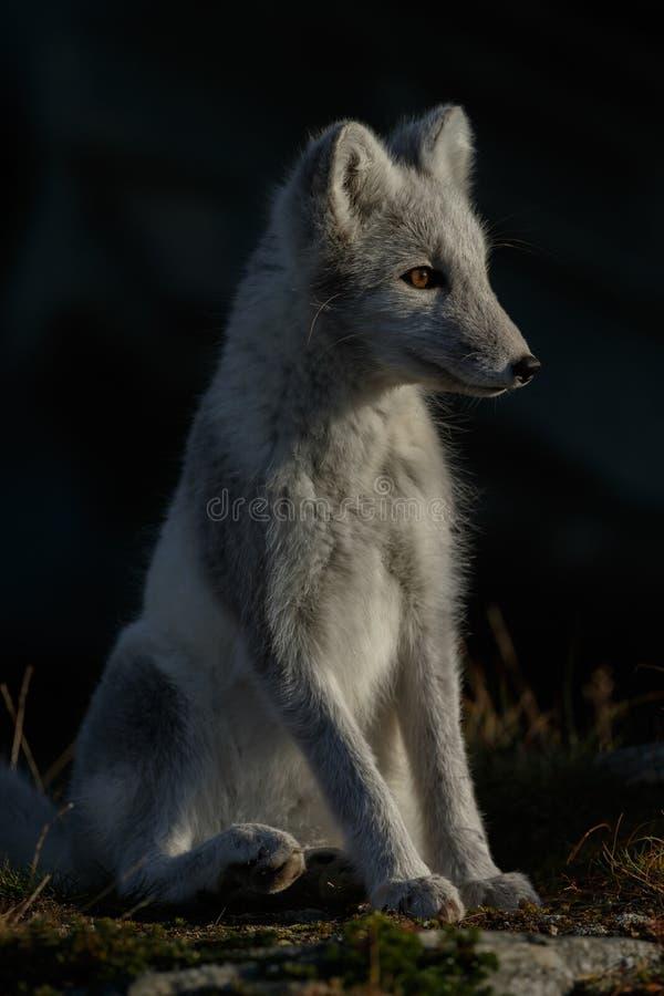 Arktisk räv i ett höstlandskap royaltyfri fotografi