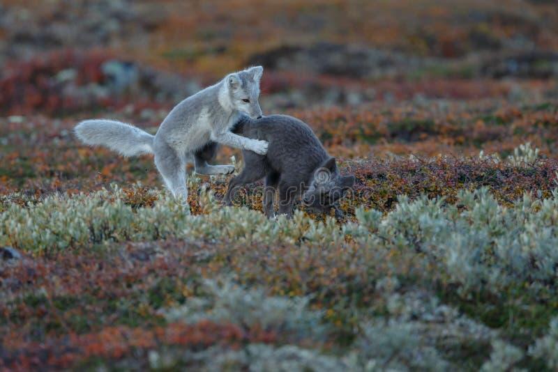 Arktisk räv i ett höstlandskap royaltyfria bilder