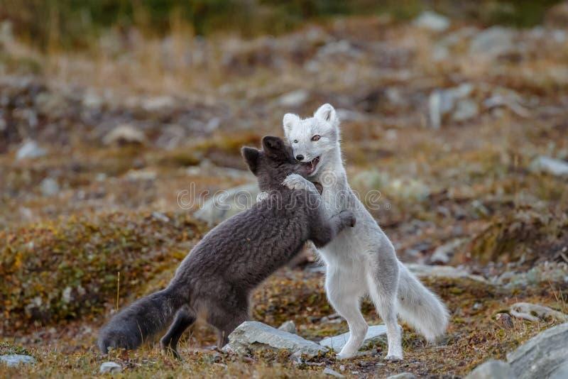 Arktisk räv i ett höstlandskap royaltyfri foto