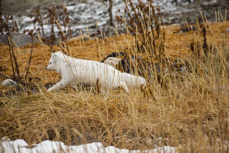 Arktisk räv i vinterlaget som kör till och med vasser arkivbilder