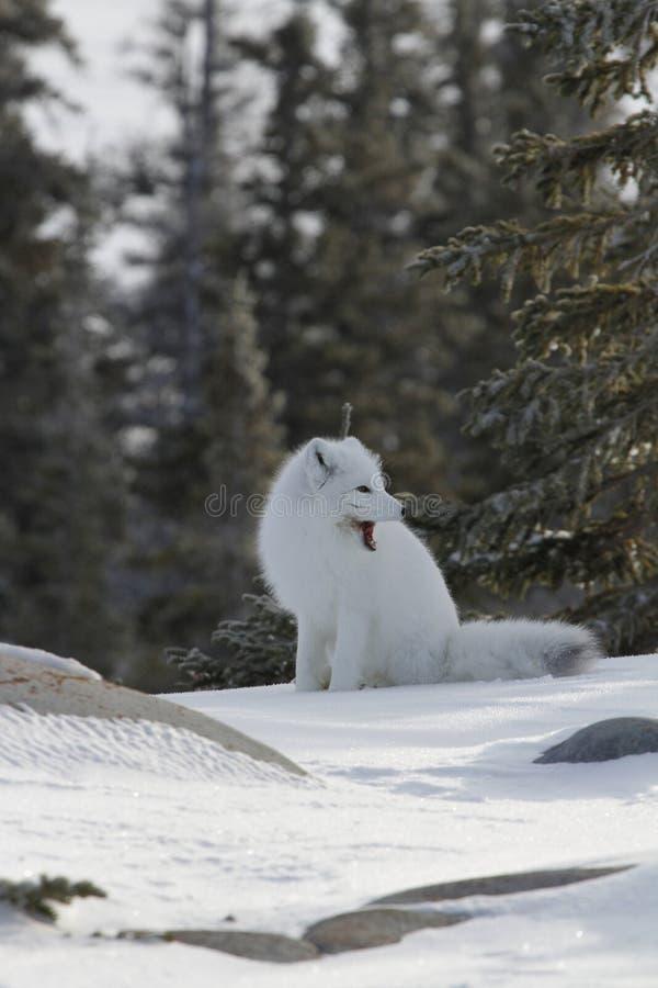 Arktisk räv i vitt vinterlagsammanträde på snön som gäspar arkivfoton