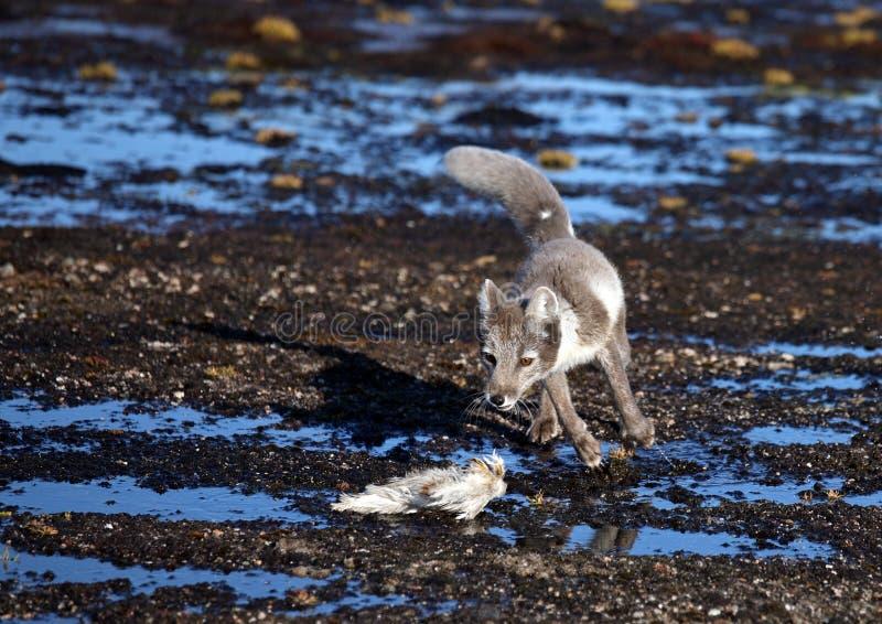 Arktisk räv med rovet royaltyfria bilder