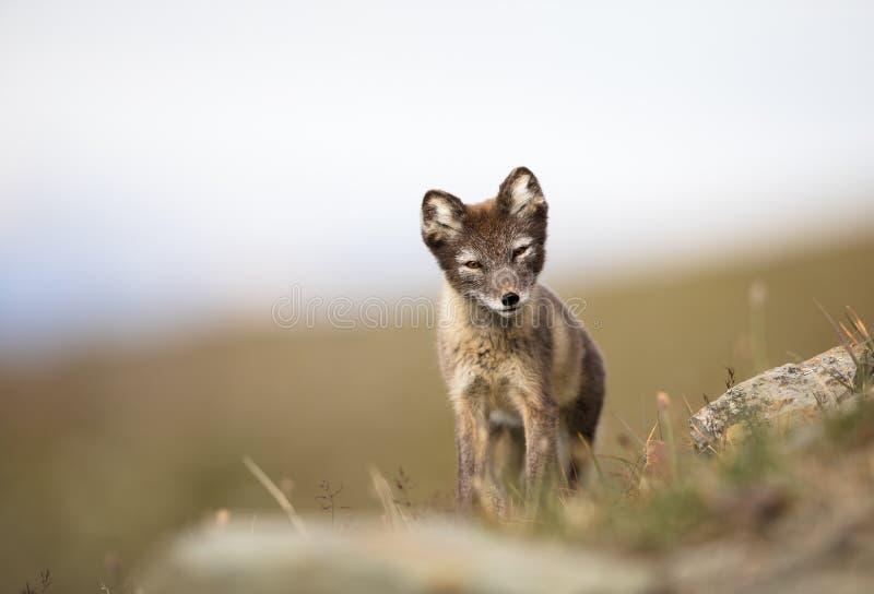 Arktisk räv, Vulpeslagopus, gröngöling i den naturliga livsmiljön, sommar i Svalbard Norge arkivfoton