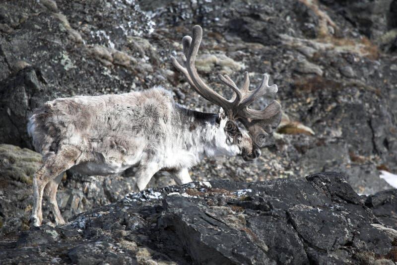arktisk ren royaltyfri bild