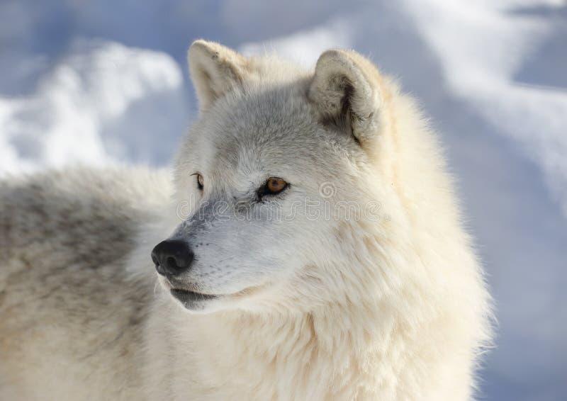 Arktisk varg i natur royaltyfri fotografi