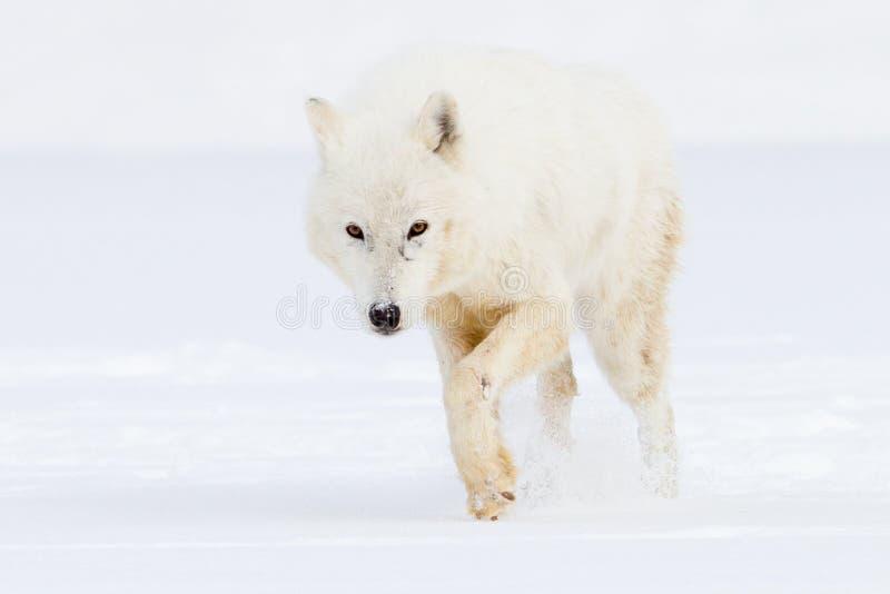 Arktisk varg på jakt arkivbild