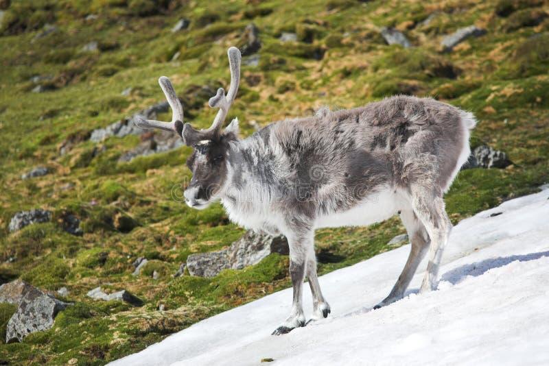 arktisk wild renspitsbergentundra royaltyfria foton