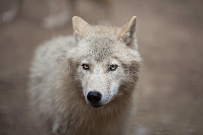 Download Arktisk wolf arkivfoto. Bild av furry, fara, angus, skog - 19785808