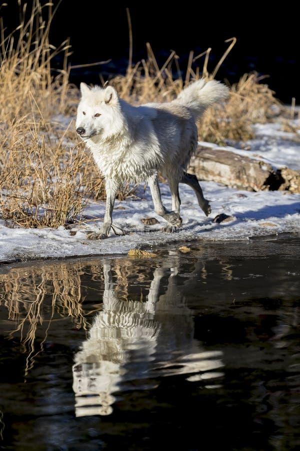 arktisk wolf royaltyfria foton
