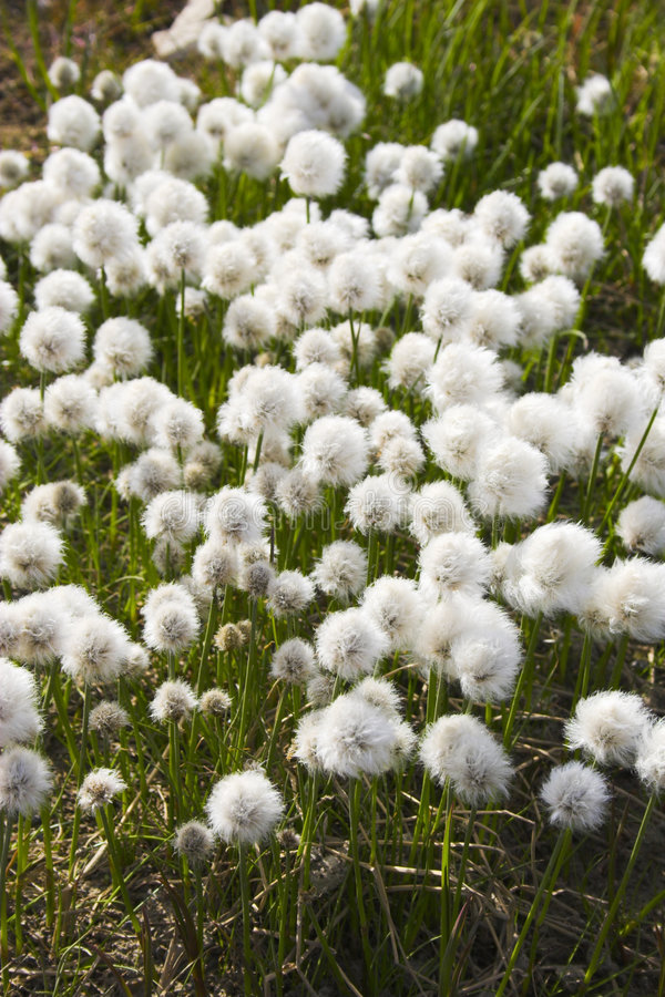 arktiska blommor royaltyfri bild