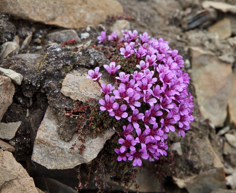 Arktiska blommor - lia för ³ för oppositifà för Saxifrà ¡ gummin arkivbilder
