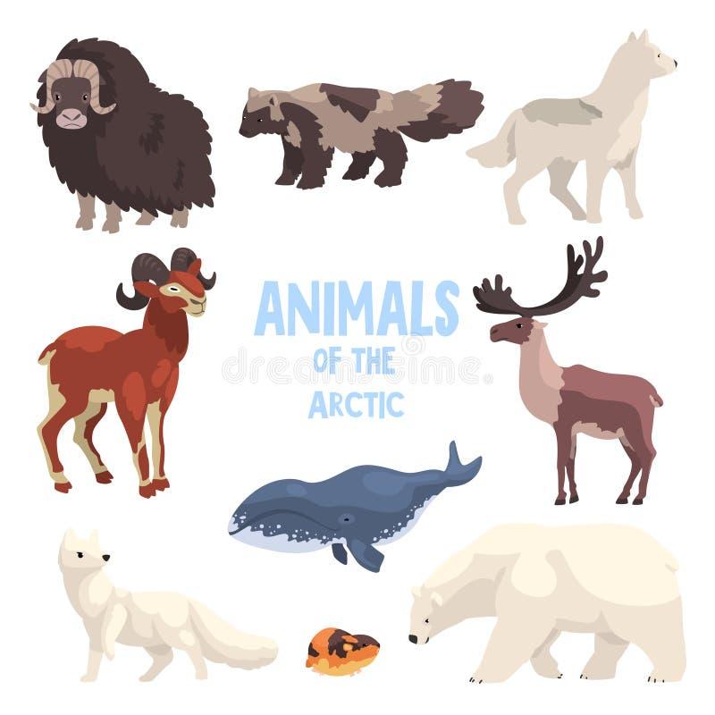 Arktiska djur ställde in, den polara räven, bisonen, tvättbjörnhunden, vargen, bergsfåret, späckhuggaren, fjällämlet, björnvektor vektor illustrationer