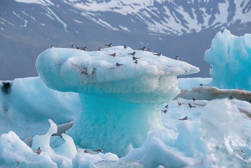 Arktiska tärnor, bröstbenparadisaea som vilar på isberget på den Jokulsarlon glaciärsjön i Island royaltyfri foto
