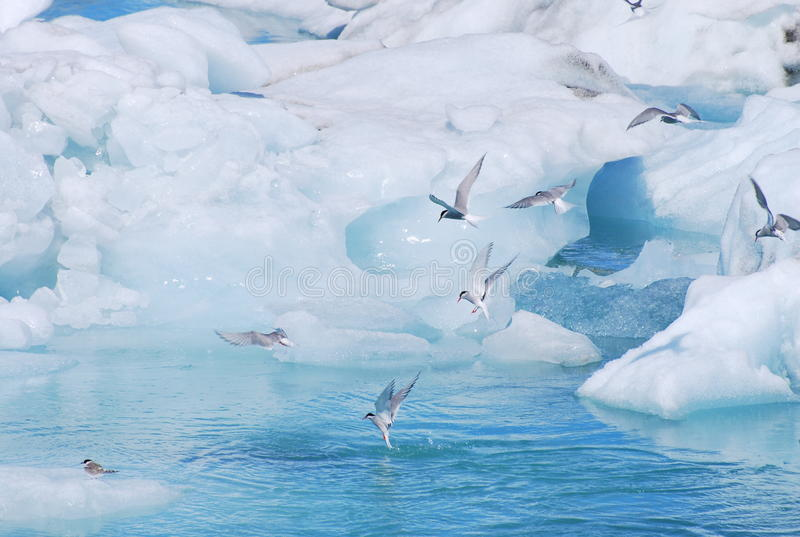 Arktiska tärnor i glaciärlagun arkivbild